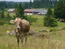 Alpengasthof Hoermoos - Im Sommer mit Kuh
