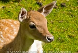 Antholzertal - Bambi Faktor