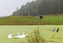 Eggental - Kuehe und Enten im Teich am Woelflhof