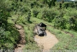 Garwhal Himalaya - Wasserbueffel