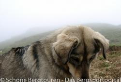 Garwhal Himalaya - Freilaufender Hund