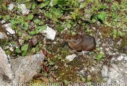 Garwhal Himalaya - Kleine Maus