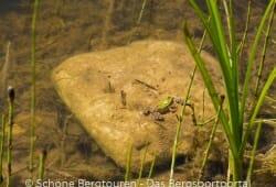 Ein Frosch im Wasser