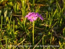 Mehlprimel - Primula farinosa