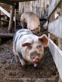 Meraner Land - Schweinerei
