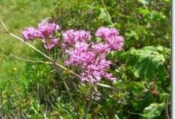 Adenostyles glabra - Kahler Alpen-Dost