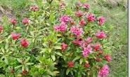 Rhododendron hirsutum - Almenrausch