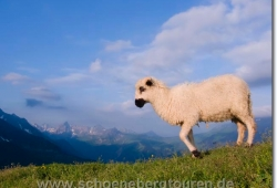 Ein Schaf am Col de Tricot