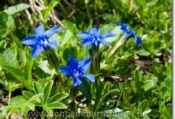 Gentiana verna - Frühlingsenzian