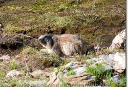 Marmota - Murmeltier