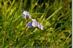 Myosotis sylvatica - Alpen-Vergissmeinnicht