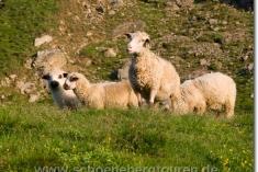 Schafe oberhalb des Col de Tricot