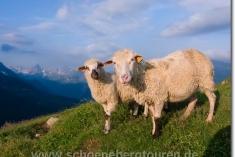 2 Schafe am Col de Tricot