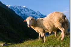 Schafe am Col de Tricot