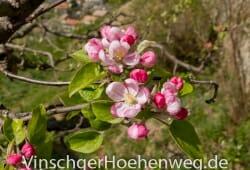 Apfelbluete am Rande des Weges