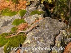 Eidechse am Vinschger Hoehenweg #4