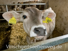 Kuh vom Englhof
