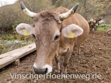 Kuh auf dem Englhof