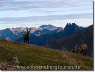 Steinboecke am Kratzerjoch - Im Hintergrund sind Hoefats und Nebelhorn erkennbar