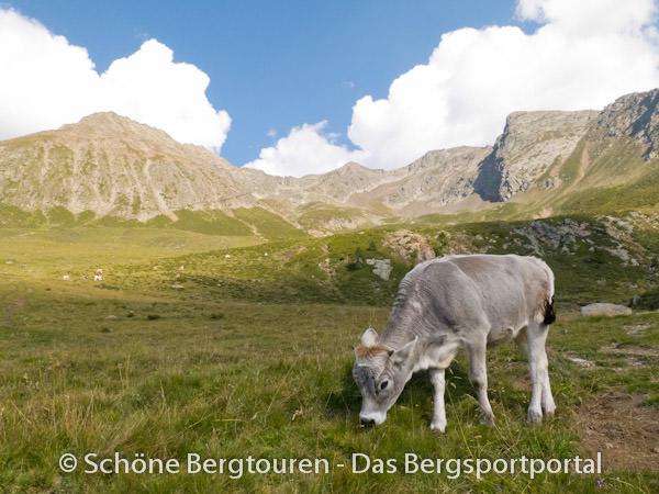 Grasende Kuh oberhalb der Hirzer Huette