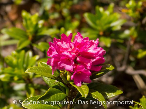 Almenrausch - Rhododendron hirsutum