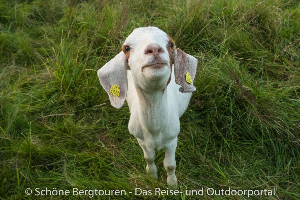 Elbsandsteingebirge - Ziege