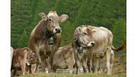 Ossola-Täler – Festlicher Alpabtrieb in den Ossola-Tälern Mitte September wird im Naturpark Veglia Devero das Ende der Sommerweidesaison gefeiert – mit Kuhgeläut und Käseschmaus Umgeben von den hohen Bergen der […]