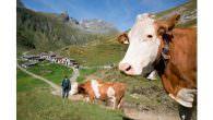 Nationalpark Hohe Tauern Osttirol – Wo Österreichs älteste Almen stehen… Zu den Sennern im Nationalpark Hohe Tauern Oben schlafen und am nächsten Morgen im Stall helfen? Oder doch lieber nach […]