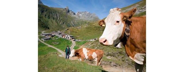 Osttirol - Kuehe