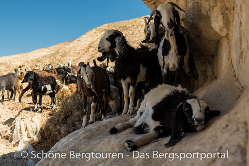 Israel - Ziegen im Wadi Og