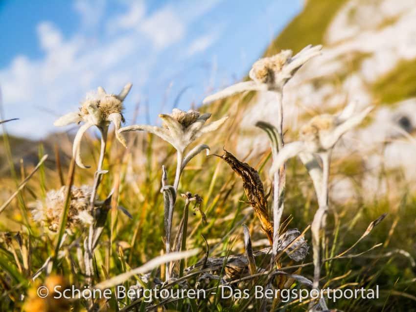 Rofangebirge - Edelweiss