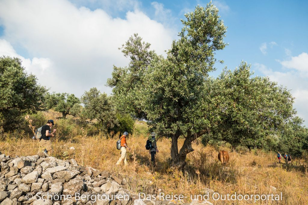 Israel - In Olivenhainen wandern