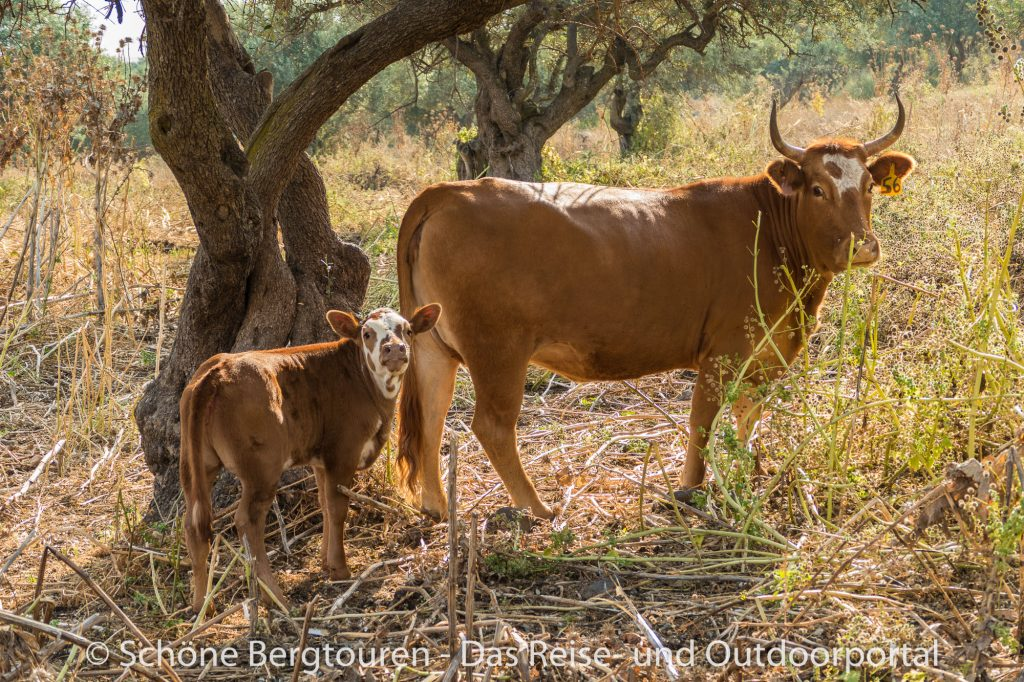 Israel - Kühe auf dem Jerusalem-Weg