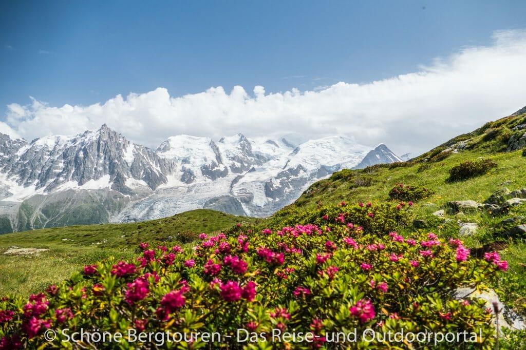 Chamonix - Bluehende Alpenrosen