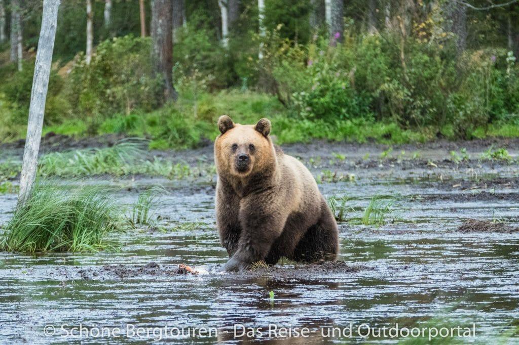 Finnland - Bärenbeobachtung in Karhu-Kuusamo