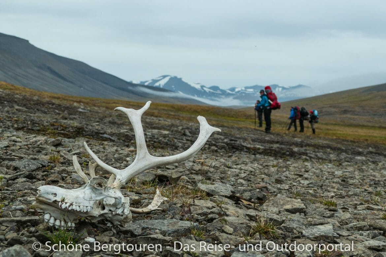 Spitzbergen - Rentierschädel