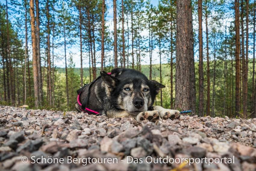 Finnland - Husky