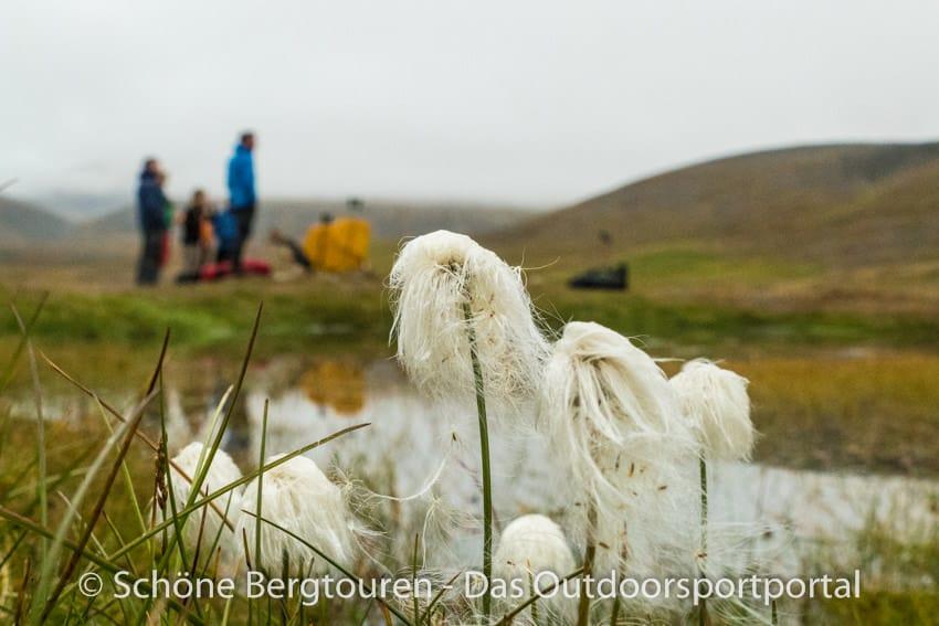 Spitzbergen Trekking - Wollgras im Colesdalen