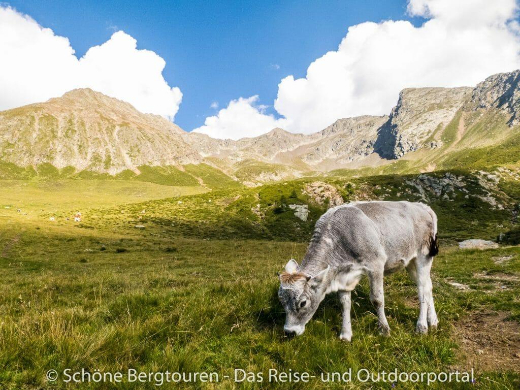 Sarntaler Alpen - Grasende Kuh