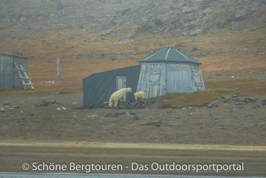 Spitzbergen - Neugierige Eisbaerenfamilie