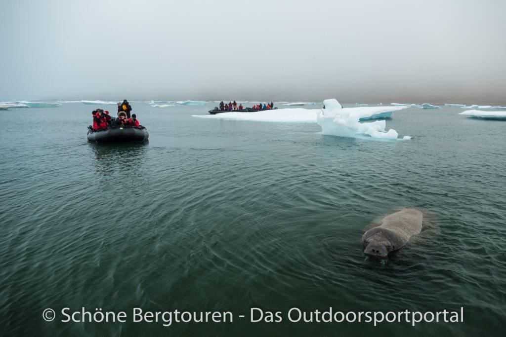 Spitzbergen - Walrosse an Kapp Lee
