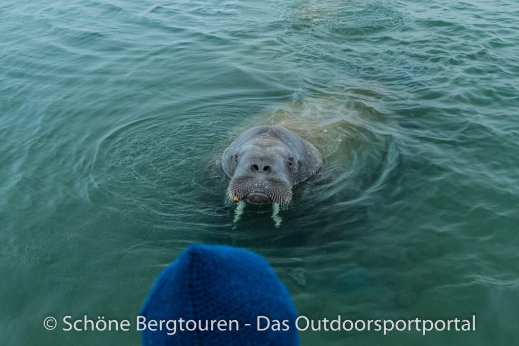 Spitzbergen - Neugieriges Walross