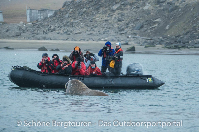 Spitzbergen - Walrossbegegnung