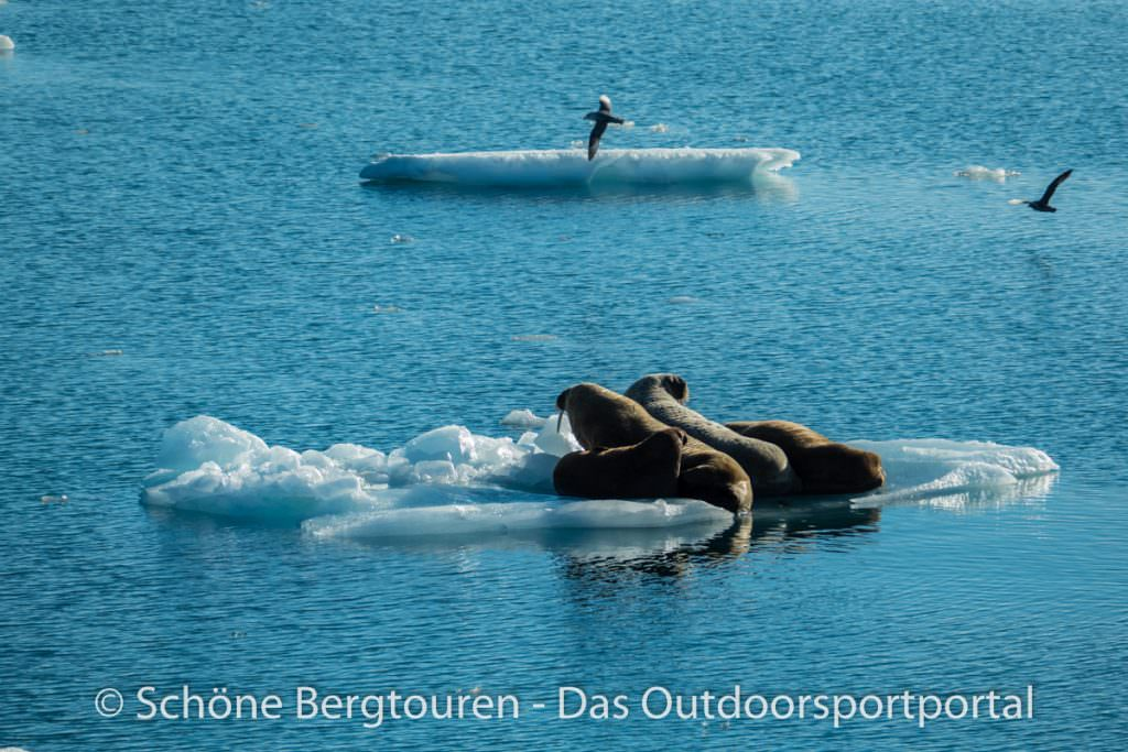 Spitzbergen - Robben auf Treibeis