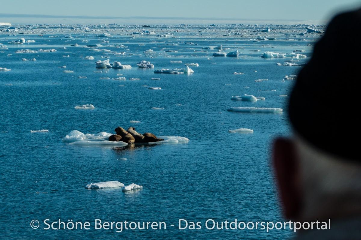 Spitzbergen - Robben auf Eisscholle