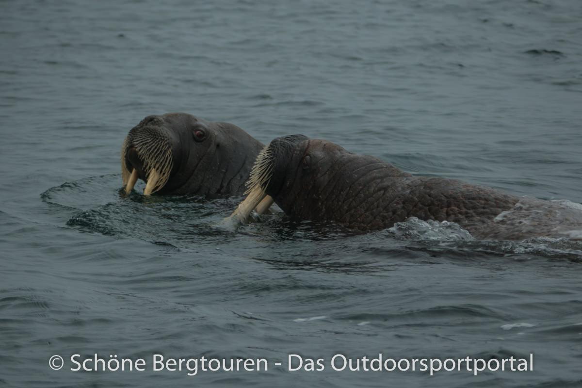 Spitzbergen - Neugierige Walroesser