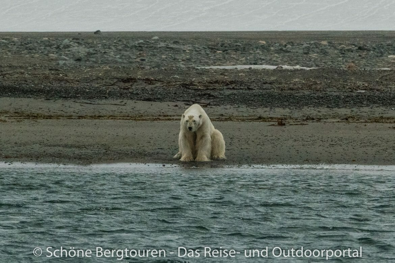 Spitzbergen - Eisbär am Ufer