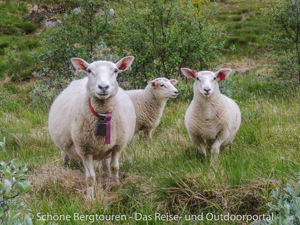 Fjord Norwegen - Schafe