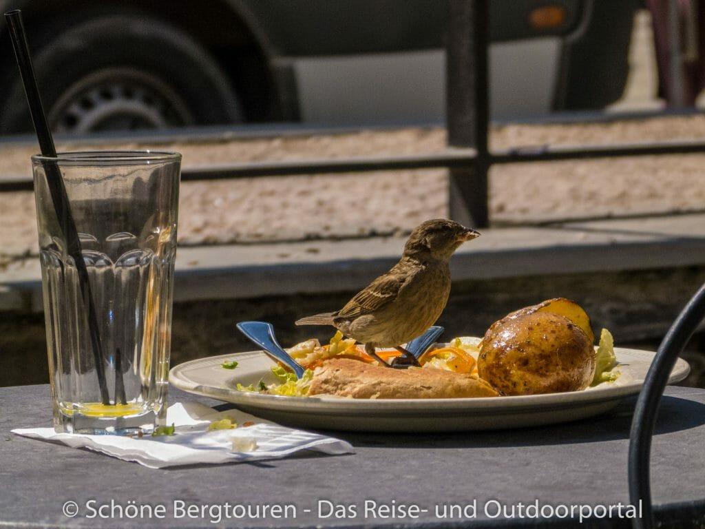Voss - Hungriger Vogel