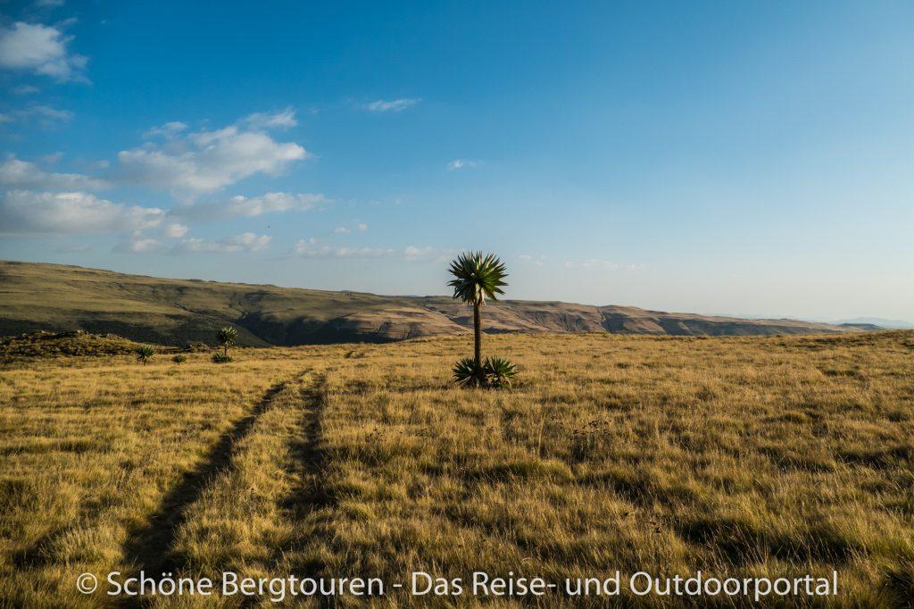 Aethiopien - Aethiopischer Schopfrosettenbaum - Riesenlobelie